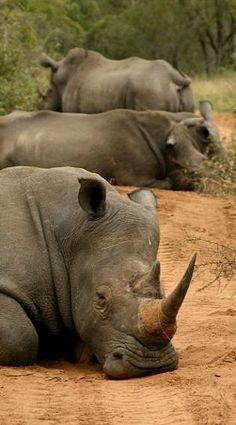 Rinocerontes holgazaneando. Sudáfrica.