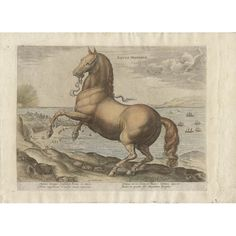 Old master horse portrait from a series of 43 engravings depicting horses of different breeds from the stables of John of Austria son of Emperor Charles V. Equus Hispanus is a Spanish horse. Latin Text, Horse Rearing, Pictorial Maps, Horse Portrait, Sports Art, Grand Tour, Old Master, Antwerp, Antique Prints