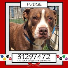 ~~DIE Fri. 05/20/16!! EXTREMELY URGENT~~Urgent Animals of Fort Worth  **Fort Worth, TX - Current Status: CODE RED - possible euthanasia on 5/14  Reason for URGENT: Animal Aggression  Animal ID: 31297472 Name: Fudge Breed: Pit Bull mix Sex: Male Age: 3 years Weight: 56 lbs Neutered Heartworm Negative  *Owner surrender - moving
