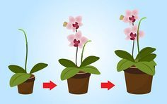 How to Care for Mini Orchids. Caring for mini orchids is very similar to caring for standard orchid varieties. Like their standard-sized counterparts, mini orchids thrive in warm, humid conditions with semi-dry roots. Mini orchids tend to. Orchids Garden, Orchid Plants, Air Plants, Garden Plants, Indoor Plants, Real Plants, Flowers Garden, Potted Plants, Orchid Varieties