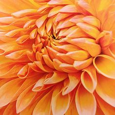 Dahlia from Southern Accents
