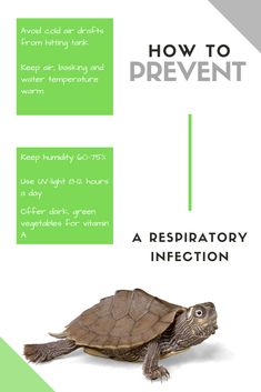 Make sure you do each and every one of these things, in order to prevent your turtle from contracting a deadly respiratory infection. Pet Turtle Care, Red Eared Slider Turtle, Tortoise As Pets, Turtle Pond, Nature Study, Pet Life, Ponds, Turtles, Reptiles