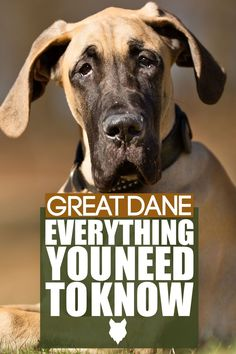 The incredible Great Dane is the largest dog breed in the world. Absolutely stunning to look at  and a pleasure to live with,  these gentle giants have won the hearts of  dog-enthusiasts all over the world. In this video, I am going to tell you  absolutely EVERYTHING that you need to know about the amazing Great Dane. German Dog Breeds, Giant Dog Breeds, Giant Dogs, Large Dog Breeds, Large Dogs, Best Guard Dog Breeds, Best Guard Dogs, Best Dogs For Families, Family Dogs