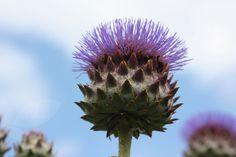 cardoon Cynara cardunculus 'Cardy' stems to - sun - hardy - june to sept - deep cut, silver leaves - Pool Plants, Garden Plants, Perennial Border Plants, Cottage Garden Borders, Architectural Plants, Sea Holly, Blue And Purple Flowers, Enchanted Garden, Mediterranean Style