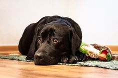 Labradors are probably one of the best dog breeds for anxiety