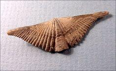Google Image Result for http://skywalker.cochise.edu/wellerr/fossil/brachiopod/6fssl-brachiopod-mucrospirifer-mucronatus2-dechant.jpg