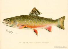 This chromolithograph is of a Male Brook Trout. ( Salvelinus Fontinalis.) Created by artist S. F. Denton (Sherman Foote) born in 1856 and died in 1937 Well known for his exquisite drawings of fish, bi