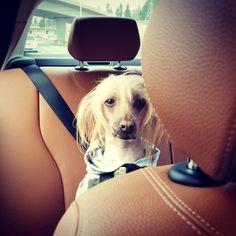 "Darby & Jello on Instagram: ""Are we there yet? ☆☆☆ #roadtrip #beachdays #longweekend #roadwarrior #DarbyDog #seattledogs #pnwdogs #doggo #doglife #dogstyle #pupper…"" Jello, Long Weekend, Dog Life, Road Trip, Dogs, Animals, Instagram, Gelatin, Animales"