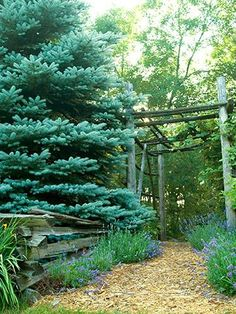 Secrets to Landscape Success 20 Secrets to Landscape Success Backyard Gates, Backyard Landscaping, Landscaping Ideas, Trees And Shrubs, Trees To Plant, Porches, Tall Ornamental Grasses, Blue Spruce Tree, Landscape Design