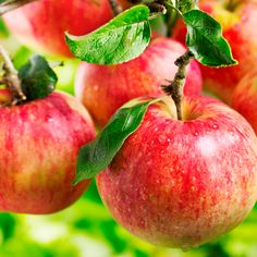 Apple Nutrition — The Ultimate Gut
