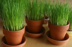 wheatgrass in containers for Easter - Google Search