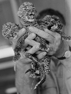 A black and white image of three newborn, leopard cubs being held up in human hands.