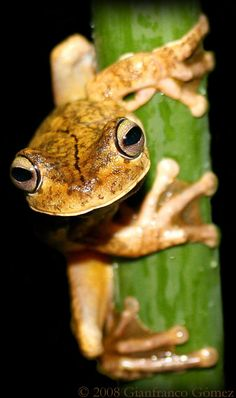 Hypsiboas rosenbergi #frogs #amphibians #herpetology