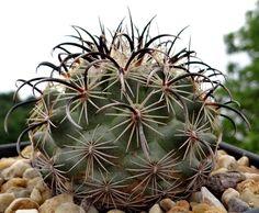Coryphantha kracikii Small Cactus, Exotic Plants, Cacti, Beautiful Flowers, Succulents, Flowers, Cactus Plants, Pretty Flowers