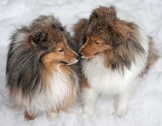 Patrick and Dillon | SheltieBoy | Flickr