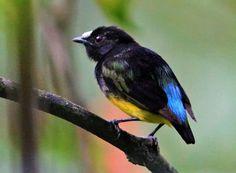 Uirapuru-estrela (Lepidothrix serena)