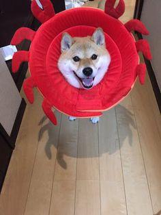 「柴犬ハナ 降りたくないなー」の画像検索結果