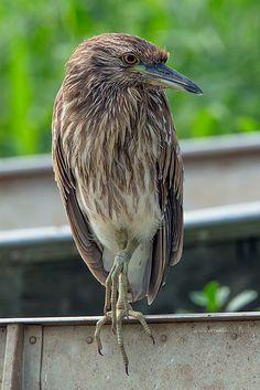Foto savacu (Nycticorax nycticorax) por Marco Guedes   Wiki Aves - A Enciclopédia das Aves do Brasil