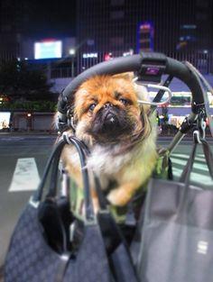 my peke MAMIJIRO 愛犬のペキニーズ・マミジロウ http://ameblo.jp/mamijiro0922/