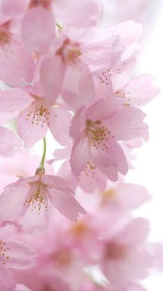 37 new ideas flowers beautiful pink spring Flowers Nature, My Flower, Pink Flowers, Beautiful Flowers, Pink Flower Pictures, Pink Roses, Frühling Wallpaper, Flower Wallpaper, Sakura Cherry Blossom