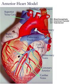 Anatomy of a heart American Stroke Association Medical Coding, Medical Science, Medical School, Medical Facts, Human Body Anatomy, Human Anatomy And Physiology, Stroke Association, Cardiac Nursing, Pharmacology Nursing