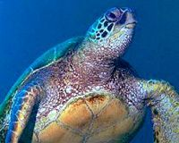 Save Hawaii's Green Sea Turtles  http://www.thepetitionsite.com/takeaction/131/349/505/