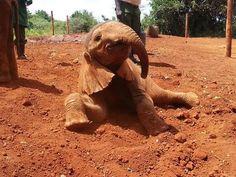 rescued calf Elephant orphan Kauro enjoying a dusty mud bath at the Nairobi Nursery! Adopt An Elephant, Happy Elephant, Wild Elephant, Elephant Love, Little Elephant, Large Animals, Baby Animals, Baby Elephants, David Sheldrick Wildlife Trust