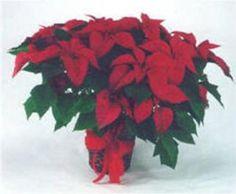 Christmas In Mexico Pictures Posadas - la Flor de la Nochebuena-
