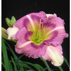 Daylily Indy Charmer, planted around Giant Fleece, 2016