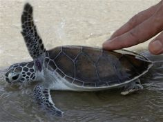 Nearly 1,000 sea turtles freed in Thailand