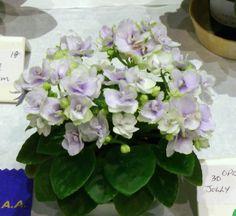 Part B Jolly Orchid (Semiminiature) - place in class 18 Perennial Flowering Plants, Herbaceous Perennials, Indoor Gardening, Indoor Plants, Saintpaulia, African Violet, Wild Ones, Pansies, Houseplants