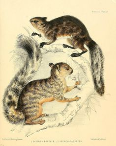 Squirrel illustrations from The zoology of the voyage of H.M.S. Sulphur: London, Smith, Elder,1844