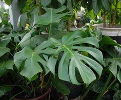 Split Leaf Philodendron (Monstera deliciosa)