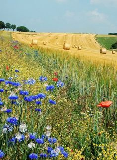 Summer field in Belgium - agriculture, summer, field, belgium. Love Flowers, Wild Flowers, Beautiful World, Beautiful Places, Farm Life, Country Life, Country Men, Belle Photo, Land Scape