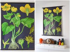 Vintage German Jung Koch Quentell pull down school chart with marsh marigold / cowslip.