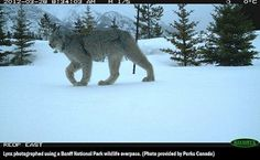 Canada - B.C.'s Glacier National Park ...six overpasses and 38 underpasses that traverse the Banff section of the highway... since the project began in 1996, more than 200,000 animals — including grizzlies, cougars, and wolves — have walked across the highway in one piece.  http://ca.news.yahoo.com/blogs/dailybrew/banff-overpass-crossing-sets-scene-rare-lynx-photo-164229835.html