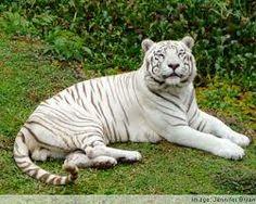 rain forest animals White tiger