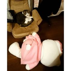 * 勝者!レオン!笑 * Winner!Leon! * #スコティッシュフォールド #ブラウンタビーアンドホワイト #ねこ #猫 #折れ耳 #ふわもこ部 #scottishfold #cat #cute #love #leon #kittencollection #kitty #レオン #animal #catstagram #にゃんこ #ニャンコ #hellokitty #勝者 #winnerleon201408102016/02/13 20:45:32