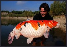 Given the right environment, koi fish can grow to be quite large as you can see!