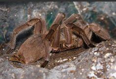 Aranhas-chinesas . Englobam diversas espécies e também são conhecidas como aranhas-de-pássaros, sendo artrópodes bem grandes e que, em alguns casos, ultrapassam os 10 centímetros. O veneno delas é capaz de matar pequenos mamíferos e crianças – por isso, o cuidado com os bebês deve ser redobrado nas regiões em que elas existem (já que costumam atacar espontaneamente). Felizmente, elas vivem somente no sul asiático.
