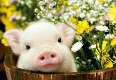 35 Ideas Baby Animals Pictures Cute For 2019 - Baby Baby - Cute Baby Pigs, Baby Piglets, Cute Piglets, Baby Animals Super Cute, Cute Little Animals, Little Pigs, Baby Animals Pictures, Cute Animal Pictures, Animals And Pets