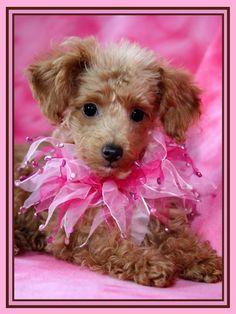 Poodles...please be mine!