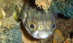 Slender-spined porcupinefish - Australian Geographic