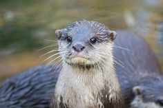 Otter is alert - June 20, 2015