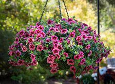 HGTV HOME Plants - Wondercalis™ Cranberry