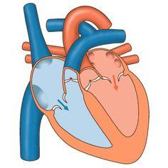 O coração é o principal componente do sistema cardiovascular, recebendo sinais elétricos (potenciais de ação) do cérebro é capaz de executar diversas ações para levar oxigênio e diversos tipos de substâncias, através do sangue, para todo o corpo