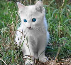 Albino cat. Photo Xabier M ~ Only a cat that's homozygous recessive (ww) will express normal pigmentation. Some cats with the W allele of this gene are deaf and / or have de-pigmentation of the iris of one or both eyes, resulting in blue eye color. Beautiful!