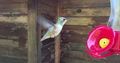 Slow-motion #hummingbird captured at 240fps with the iPhone 6S http://petapixel.com/2016/11/17/slow-motion-hummingbird-captured-240fps-iphone-6s/ | #wildlife #SlowMotion #bird #IPhone6S #nature #tips