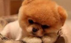Very tired Pomerania puppy