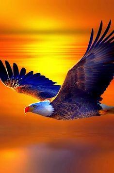 eagle flying at sunset or  sunrise